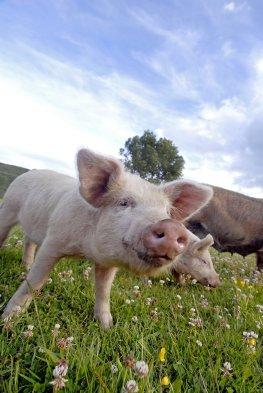 Hermansdorfer Landwerkstätten - Schweine auf der Wiese