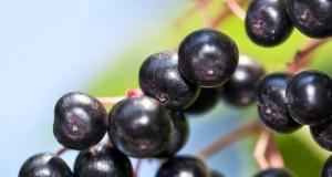Der Schwarze Holunder enhält viel Vitamin C.