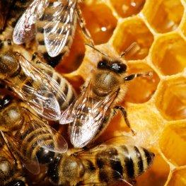 Honigwarben - Fleißige Bienen bei der Arbeit