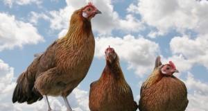 Hühnerhaltung auf dem Dach.