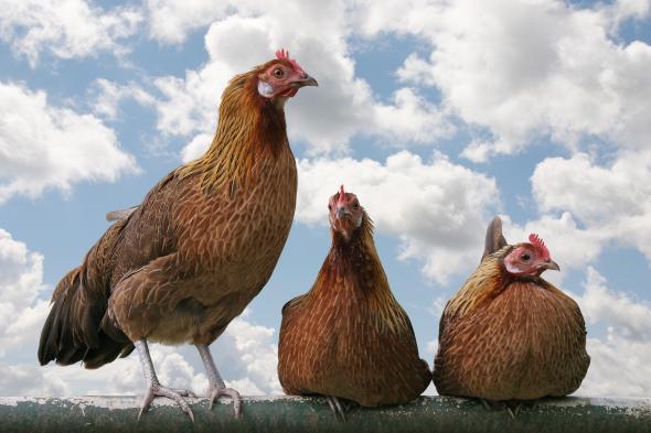 Selbstversorgung in den USA - Hühnerhaltung auf dem Dach.