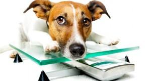 Hat ein Hund zu viele Kilos, ist der Hundebesitzer Schuld.