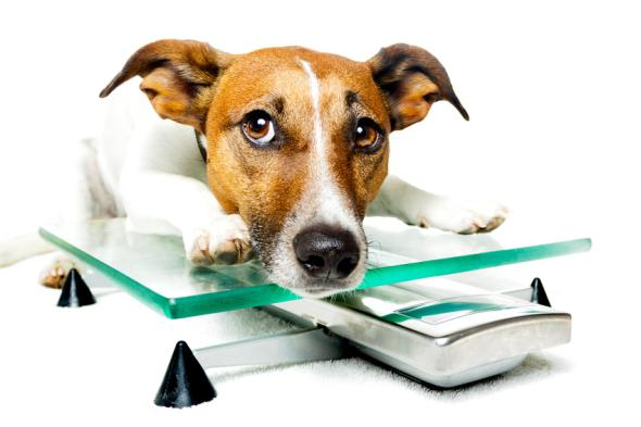 Hat ein Hund zu viele Kilos aud den Rippen, ist der Hundebesitzer daran Schuld.