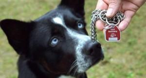 Hund mit seiner Steuer- bzw. Hundemarke