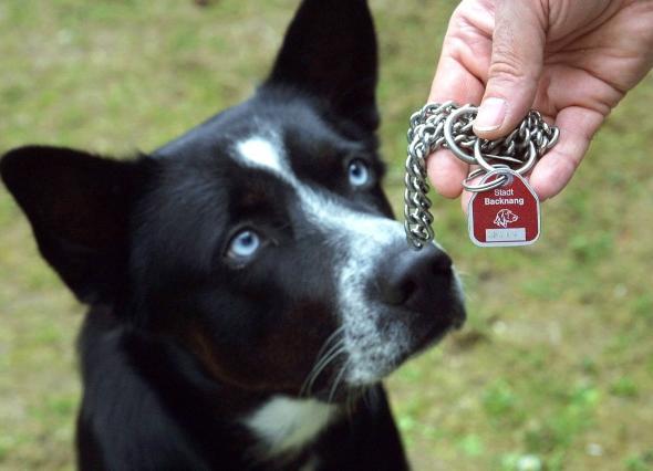 Hundesteuer: Hund mit seiner Steuer- bzw. Hundemarke