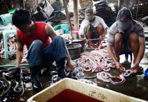 Indonesien - Schlangenfleisch:  die Männer verarbeiten das Fleisch von Kobras