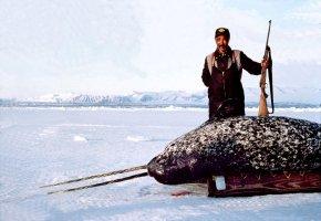 Inuit-Eskimo mit einem geschossenen Narwal