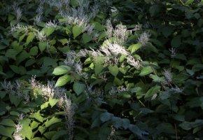 Invasive Pflanzenart - Der japanische Staudenknöterich