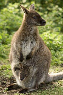 Känguru-Mutter mit einem Baby