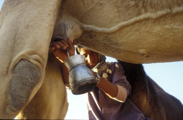Frische Kamelmilch - Ein Ägypter melkt sein Kamel