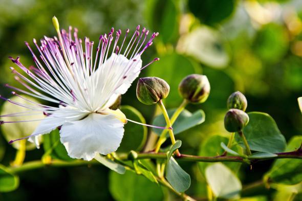Kapernblüte mit Knospen, die Kapernknospen werden später geerntet und verarbeitet.
