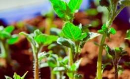Kartoffeln - Kartoffelpflanzen auf der Terrasse ziehen