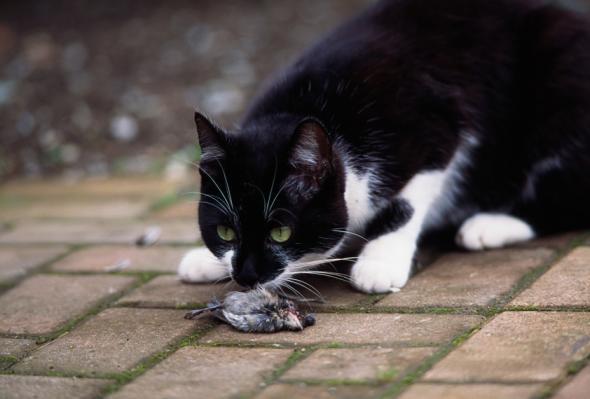 Eine Katze frisst ihre Beute, einen Vogel.