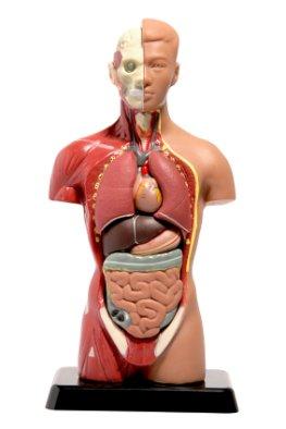 Körpermodell - der menschliche Körper und seine Organe