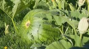 Der Koloquinte ist die Heilpflanze 2012