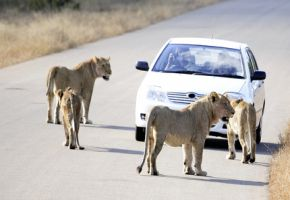 Kruger Nationalpark: Wildtiere, Löwen