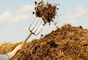 Bauer schmeisst Kuhmist mit der Heugabel auf den Misthaufen