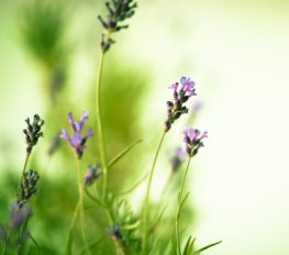 Lavendelblüten haben eine beruhigende Wirkung