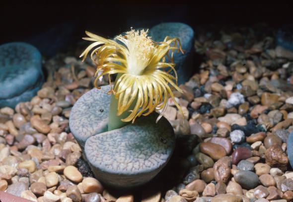 Lebende Steine - eine Lithops mit Blüte.