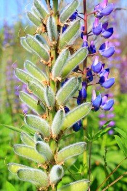 Gesunder Ersatz für tierische Nahrungsprodukte - Blühende Lupinen mit Samen