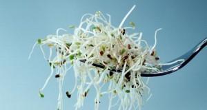 Luzerne - Alfalfa Sprossen sind kleine Energiebomben.