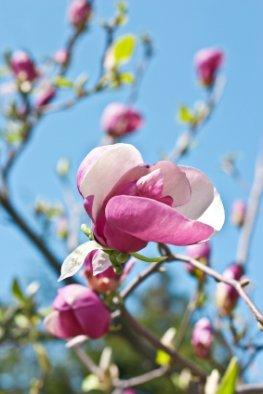 Magnolien in der Blüte