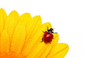 Marienkäfer sitzt auf einer Blume