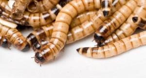 Mehlwürmer enthalten jede Menge Proteine