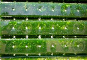 Mikroalgen werden im Labor gezüchtet