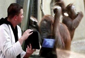 Mitarbeiter Scott Engel präsentiert den Affen das iPad