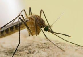 Mosquitos sind Krankheitsüberträger von Erregern wie Viren und Bakterien