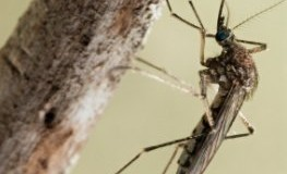 Mosquitos und Stechmücken sind Überträger für das West-Nil-Fieber