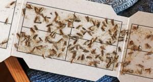 Kleidermotten gefangen auf einer Pheromonfalle