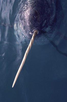 Klimawandel und Jäger machen dem Narwal zu eine bedrohten Spezies