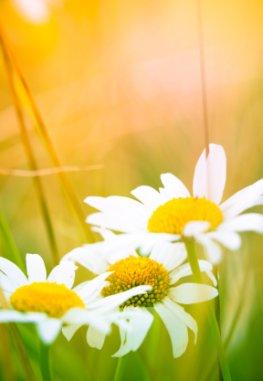 Naturheilkraft der Pflanzen - Die Kamille