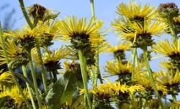 Naturheilkunde - die Wiesen- und Heilpflanze Alant (Inula)
