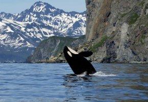 Orca auf Raubzug - der Killerwal jagt den Narwal
