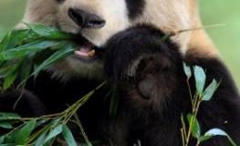 Pandabär frisst Bambus - der Kot wird als Dünger auf Teeplantagen eingesetzt