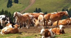 Pferde und Kühe auf der WIese.