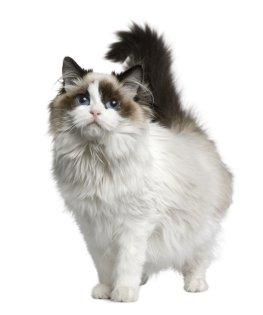 Ragdoll-Katze in Pose