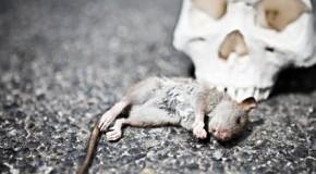 Ratten waren die Überträger der Pest