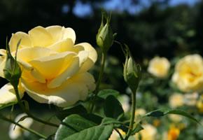 Rosen - Edle Rosen für drinnen und draußen