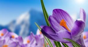 Safran wird im Kanton Wallis in 1200 Meter angebaut.