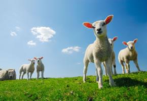 Junge Schafe auf der Weide