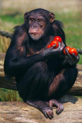 Schimpansen wählen Werkzeug nach deren nutzen aus
