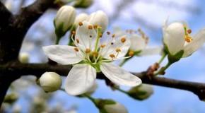 Schlehenblüten im Sommer