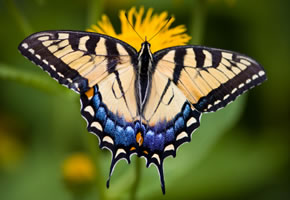 Schmetterlinge im Garten und Balkon