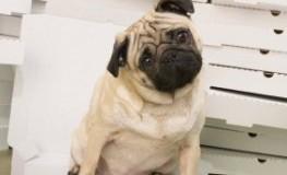 Studie: ist die Körpertemperatur abgesenkt, nimmt auch der Hund zu