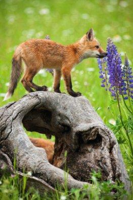 Tiere haben einen ausgeprägten Geruchssinn - junger Fuchs schnuppert an einer Blume
