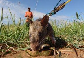 Tierische Helfer - Ausgebildete Ratten suchen nach tödlichen Minen